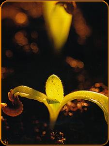 Calendula komt tot bloei